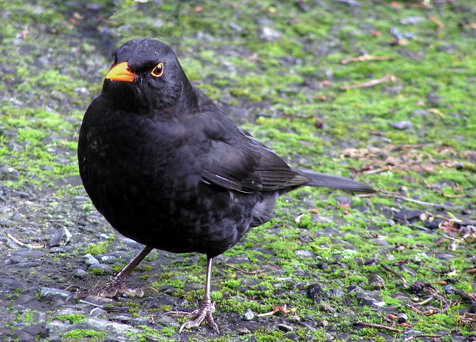 The Song of the Blackbird—Lord Dunsany—Flash Fiction Online